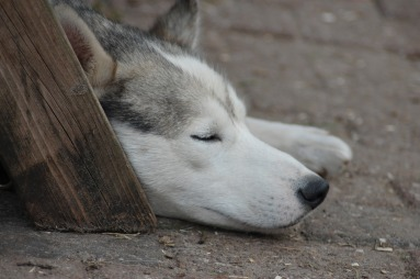 sleeping dog. animal-793260_1920