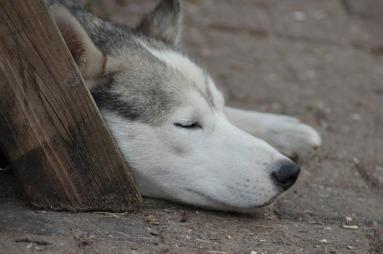 sleeping dog. animal-793260_1920